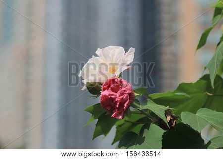 Autumn Flowers Series, Pink Cotton Rose