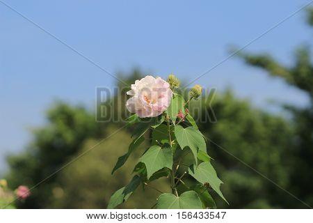 Autumn Flowers Series, Pink Cotton Rose