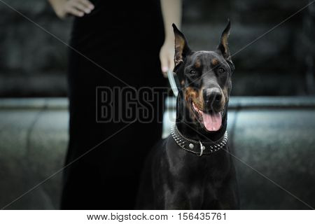 Portrait of doberman dog outdoors on blurred background