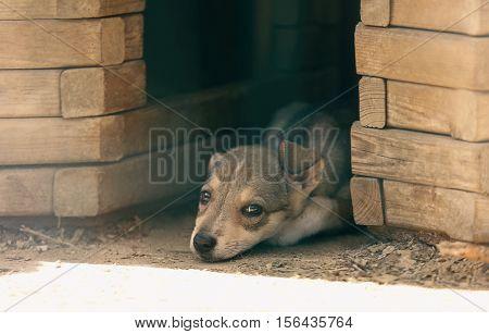 Sad little puppy lying near kennel