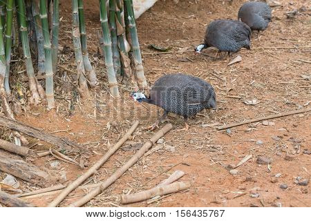 Guineafowl Hens Finding Food