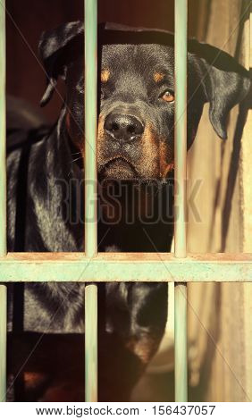 Portrait of homeless rottweiler in animal shelter cage