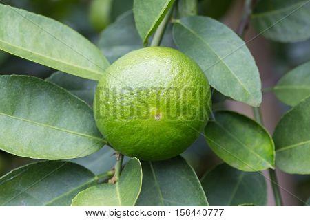 Lemons Hanging On Tree In The Farm