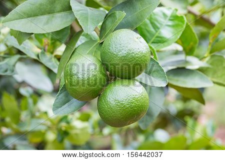 Lemons Hanging On Tree In The Farm