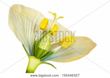 Model of flower with stamens and pistils isolated on white background