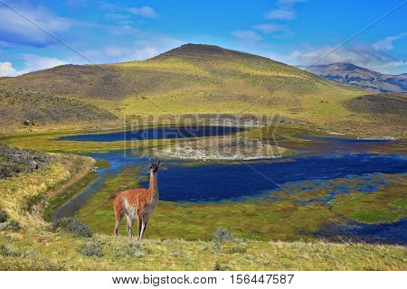 National Park Torres del Paine. Dreamland Patagonia. Blue water grassy lake, on a hill stands a beautiful guanaco