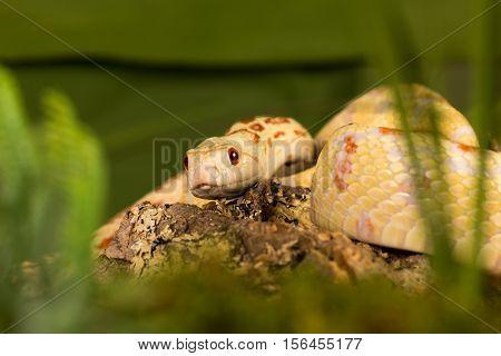 Beautiful specimen of an albino bullsnake hiding in grass
