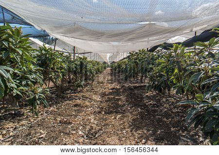Loquat tree growing plantation in a greenhouse