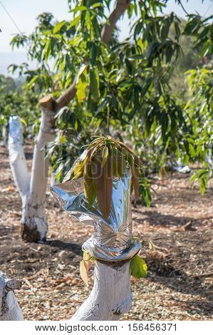 Grafting on a mango tree in field