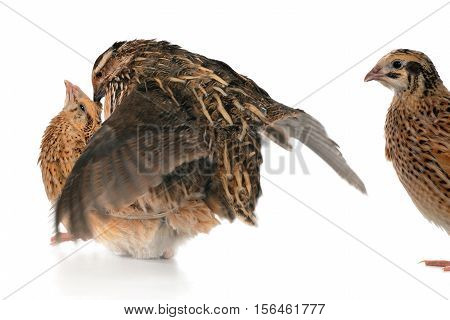 reproduction quail  isolated on a white background