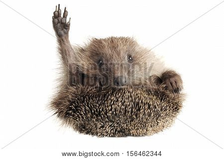 Standing hedgehog white on a white background