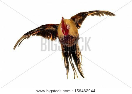 flying rooster isolated on a white background
