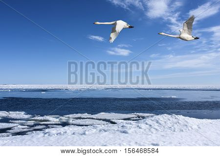 Coast, the Sea in March during the hours when the ice breaks up. Bird migration.