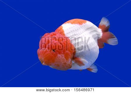 Ranchu Or Lion Head Goldfish