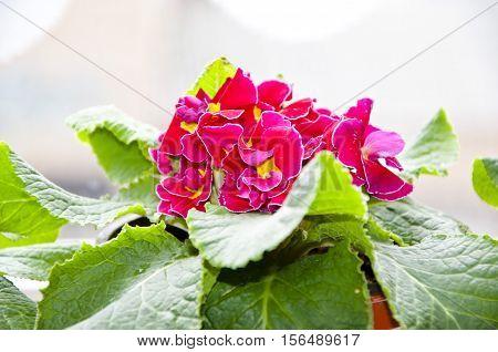 Pink Primrose Or Primula Flowers