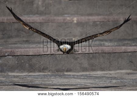 The Bald Eagle (Haliaeetus leucocephalus) in flight