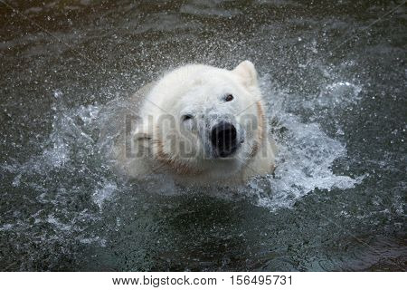Polar bear (Ursus maritimus) shaking water off. Wildlife animal.