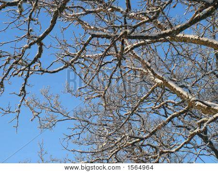 Winter Oak Tree Branches