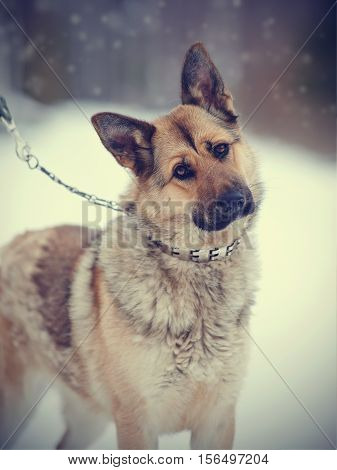 Portrait of a sheep-dog in the open air in the winter.