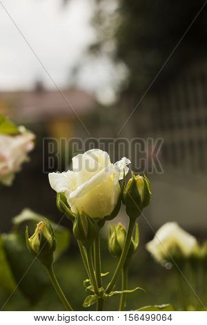 White Rose in drops of rain in garden. Flowers roses with bud after rain