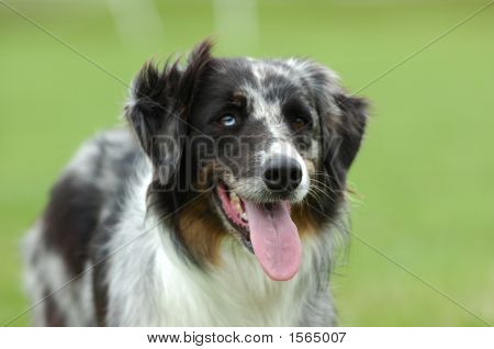australian shepherd dog in front of a green background poster