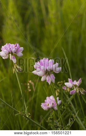 Pink wildflowers. Clover pink flowers. Pink flowers in meadow. Trifolium hybridum pale pink flowers side view
