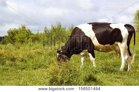 Black and white color cow grazing in meadow under blue cloudy sky pastoral scene. Cow on pasture side view