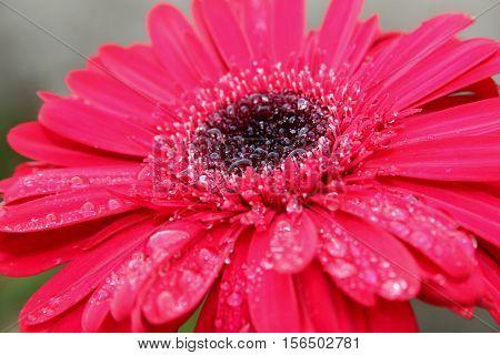 Flor Gerbera cor de rosa com gotas de chuva