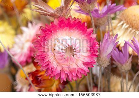 Bouquet of dry straw flower or everlasting Helichrysum bracteatum