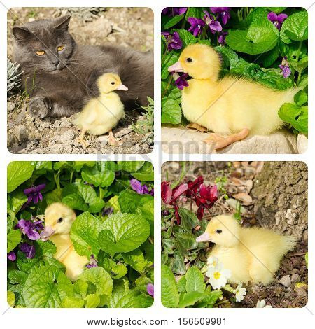 Collage with photos of little duck with europan cat