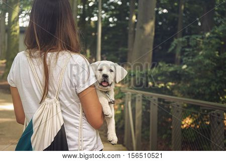 little cute labrador puppy is carried around
