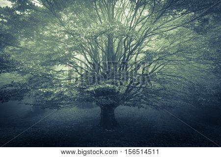 Photo of isolated beech tree lost in the autumnal fog