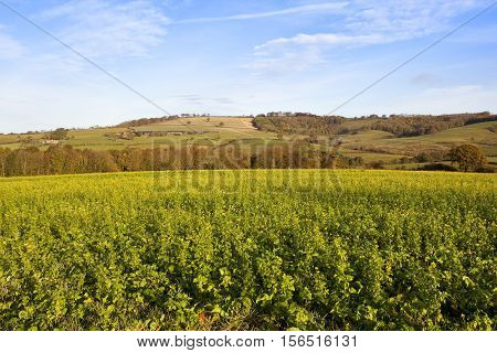 Mustard Crop With Scenic Backdrop
