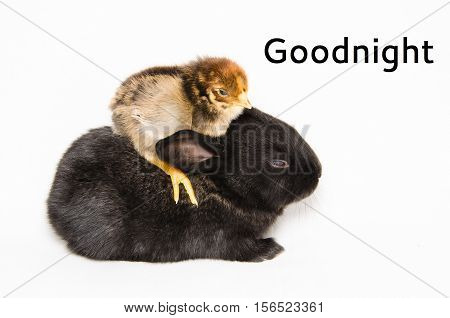 Goodnight card with black bunny and chick isolated on white background