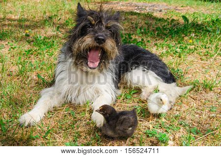 Photo of yawning dog with two baby chicks