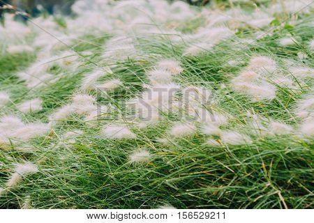 Foxtail. Pennisetum alopecuroides hameln in dwarf fountain