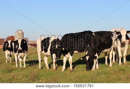 A small herd of Holstein cows on a Wisconsin dairy farm in Autumn.