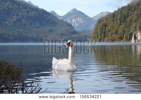 White swan / White swan floating on the lake.