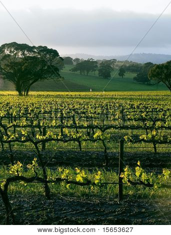 Early Morning Sun on the Vines
