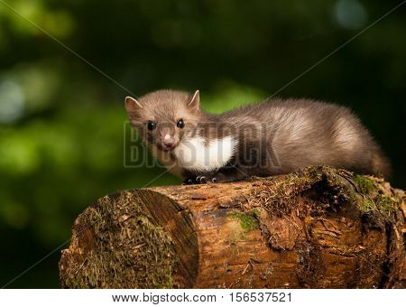 Martes foina - White breasted marten lying on the stump