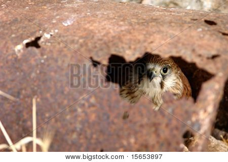 Hawk looking through a hole in some rusty metal poster