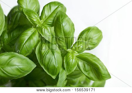 Basil Leafs On The Light Background. Green Leaves Closeup. Aromatic Ingredient In Culinary, Raw For
