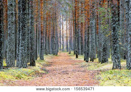 Old path passing through a dense pine forest.