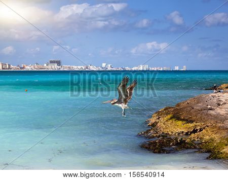 brown pelican in flight over the sea. Rocky coast the sea and city in the distance