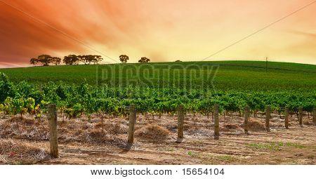 Scenic Vineyard at Sunset