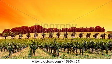 Sun Setting over vines in South Australia