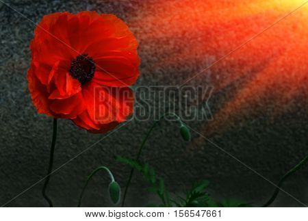 wild poppy flower in the sun. a symbol of remembrance.