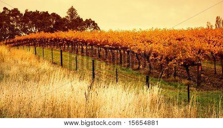 Orange Vineyard in the Barossa Valley