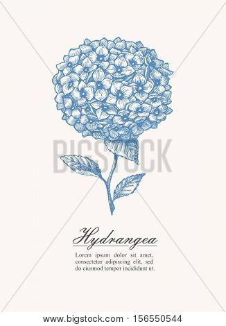 Vector illustration in vintage style. Hand drawn detailed hortensia. Hydrangea.