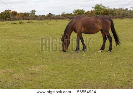 New Forest wild pony grazing on the moorland